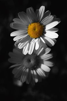 *Daisies by Azra Ferhatovic (Touch of Color)