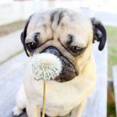 Pug and dandelion