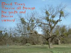 All about mesquite trees, sometimes called the Devil Tree. Lots of photos and a video of what those mesquite thorns can do. Growing Seeds, Growing Tree, Mesquite Tree, The Clumps, Plant Information, Outdoor Crafts, Seed Pods, Home Repair, Outdoor Gardens
