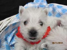 westies puppies pa | Nancys Westies -Maisies Litter of Westie Puppies for Sale