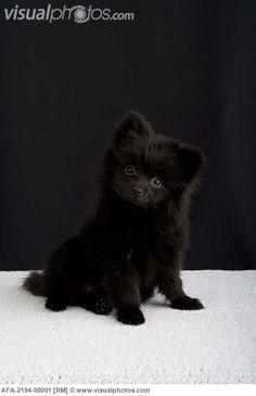 black pomeranian   Black Pomeranian puppy sitting on a white carpet [AFA-2194-00001 ...