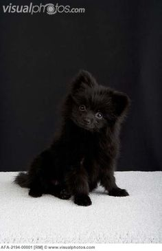 black pomeranian | Black Pomeranian puppy sitting on a white carpet [AFA-2194-00001 ...