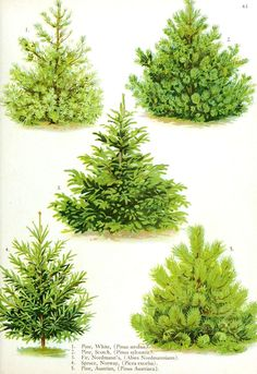 Botanical - Trees - Tree types 3