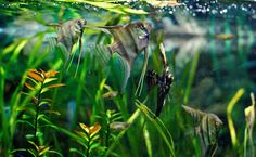 freshwater tropical fish - Google Search