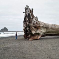 Sequoia Redwood Driftwood