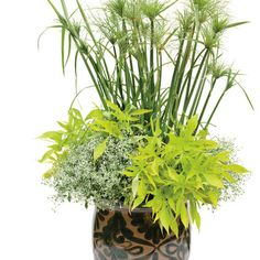 Proven Winners - Make a Splash combination container recipe containing Graceful Grasses® King Tut® - Egyptian Papyrus - Cyperus papyrus, Diamond Frost® - . Outdoor Pots, Outdoor Spaces, Outdoor Gardens, Cyperus Papyrus, Coral Bells, Proven Winners, Container Flowers, Garden Inspiration, Container Gardening