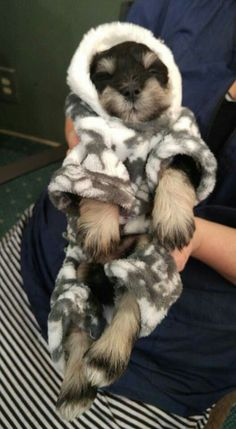 This little schnauzer puppy is SO COZY. Link: https://www.sunfrog.com/search/?64708&search=schnauzer&cID=62&schTrmFilter=sales