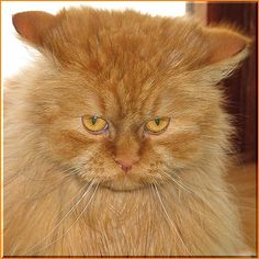 there's only one kibble in my food dish. Tiger Love, Matou, Maine Coon Cats, Cat Face, Cat Eyes, Old Friends, Cool Cats, Cats And Kittens, Funny Cats