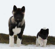 Akita Puppies- Best Friends- Skyy and Jager