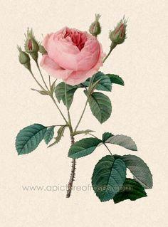 Old Moss Rose, R. centifolia var. muscosa, painted by Pierre-Joseph Redouté,