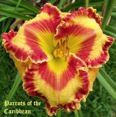 Daylily (Hemerocallis 'Parrots of the Caribbean') uploaded by Ladylovingdove