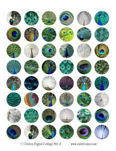 Bottle Cap Images / Peacocks Peacock Feathers Bird by carielewyn, $1.99