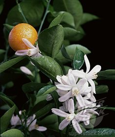 love ORANGES and the smell of a blossoming orange tree is irresistible