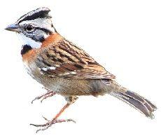 Pássaro Tico-Tico (Zonotrichia capensis)