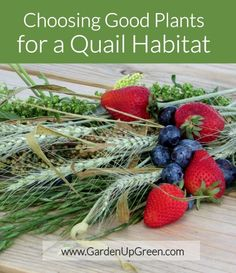 Choosing good plants for a quail habitat includes seeds, grain and berries. Get these detailed options for adding real plants to your quail home. Raising Quail, Raising Bees, Raising Chickens, Raising Ducks, Quail Pen, Quail Coop, Backyard Farming, Chickens Backyard, Backyard Coop
