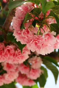 Kwanza Cherry Tree Blooms -- georgeous!  Via Pat, Back Porch Musings