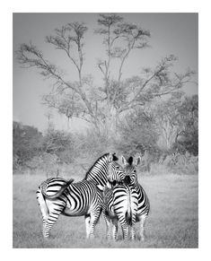 BW fine art print on canvas or paper of zebra mutual head resting in the Okavango delta at Chitabe camp Okavango Delta, Canvas Art, Canvas Prints, African Animals, Wildlife Art, Animal Prints, Wildlife Photography, Fine Art Paper, Art Images