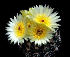 Notocactus attonis