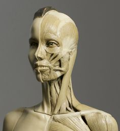 head anatomy drawing - Google 검색
