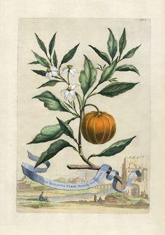 Abraham Munting - from Naauwkeurige Beschryving Der Aardgewassen (Accurate Description of Terrestrial Plants) - 1696.