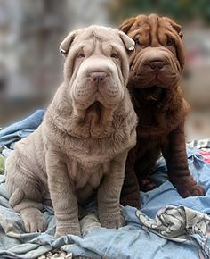 Sharpei Dog - Info about taking care of your new puppy! Shar Pei Puppies, Baby Puppies, Cute Puppies, Dogs And Puppies, Chinese Shar Pei Dog, Chinese Dog, Wrinkly Dog, Sharpei Dog, Pet Dogs