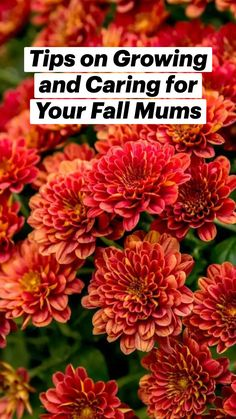 Container Flowers, Container Plants, Container Gardening, Gardening Tips, Fall Mums, Balcony Garden, Lawn And Garden, Outdoor Plants, Outdoor Gardens