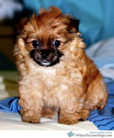king pomeranian 1000 images about thats my cavapom on pinterest 5194