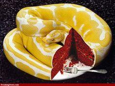 Red Velvet Snake Cake
