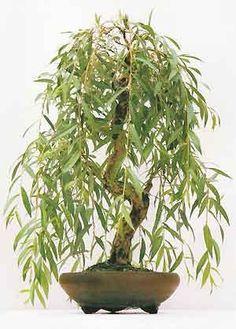 weeping willow bonsai tree