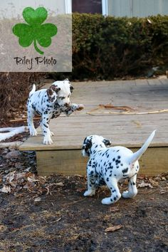 Dalmatian Puppy Playtime - KathleenRileyPhotography.com