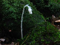 Monotropa, growing in moss...as per Alma's first scientific paper.