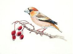 Hawfinch. Original watercolour. Bird illustration. Biological