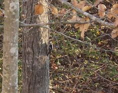 Female Downy Woodpecker.