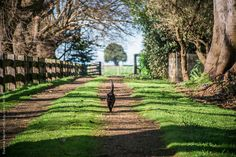 Burmese cat strolling along driving of Country Homestead by Rowena Naylor