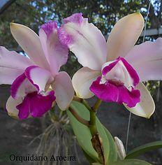 Informações e fotos das espécies e híbridos cultivados no Orquidário Aroeira.