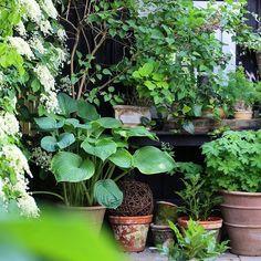 Good morning and happy Sunday  #potgarden #mygarden #containergardening #hosta #fern #geranium #lillac #hydrangea #dalia #garden #flowers #instagram #krullskrukker