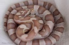 zmei - Elaphe guttata/ corn snake Ultramel Anery Toffee