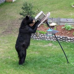 Bear at a feeder in Marathon, ON, by Michael Butler.If you live in an area with bears, FeederWatch recommends against any feeding except when bears are hibernating....
