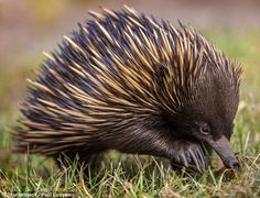 Monotremes including the echidna, pictured, are mammals that lay eggs instead of giving birth to live young. They live to the east of the Wallace Line