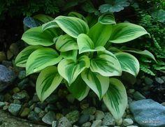 Hosta Cameo - a little one! Grows only tall. Hosta Plants For Sale, Buy Plants, Shade Plants, Garden Plants, Flower Gardening, Agaves, Part Shade Flowers, Hosta Varieties, Sempervivum