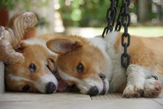 All I do with my life is look at Corgi pictures...
