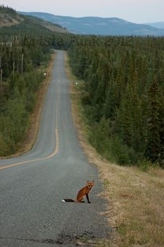 King of the Road: Red Fox on the Robert Campbell Highway