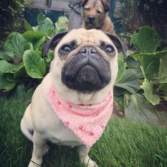 What do you mean cuz Toffee has photobombed my pic says Mabel... It's ok though cos she's a senior pup... Enjoy your weekend folks whatever you have planned..  #goodmorning #weekend #pugbasement #feature_do2#dogsofinstagram #pugmob #pugnation #zerozeropug #puglove #smilingpugs #pugrequest #flatnosedogsociety #TheTomCoteShow #pugsandkisses #puglife #insta_dogs #sendadogphoto #pug #lacyandpaws #speakpug #pugsofinstagram #pugs #pugsproud_feature #dogs #pugsloversclub #cutepugsonly #cutepugs…