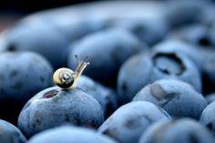 Itty-bitty snail on a blueberry