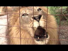 Big Cat Talk! - Roar, Purr, Meow - YouTube