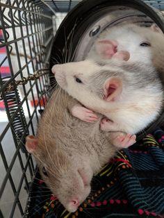 Using her sister as a pillow #aww #cute #rat #cuterats #ratsofpinterest #cuddle #fluffy #animals #pets #bestfriend #ittssofluffy #boopthesnoot