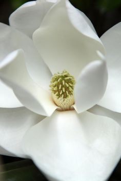 Wonderful white magnolia