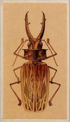 Macrodontia cervicornis  Vintage - Natural History - Botanical - Scientific - Print - Beetle - Bug - Insect
