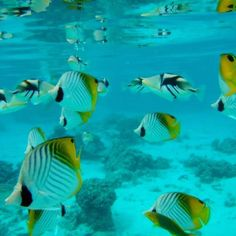 Butterflyfish in the lagoon.  Rarotonga, Cook Islands (airport)  Rumours Luxury Villas and Spa - Rarotonga. For your luxury holiday, wedding and honeymoon www.rumours-rarotonga.com