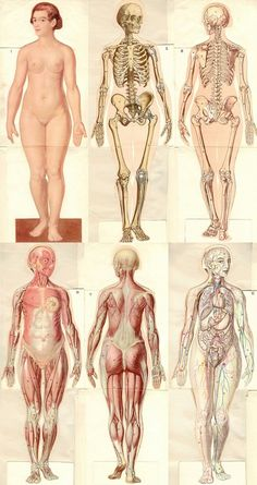 Adult woman, tissue, skeleton, musculature, front and back.